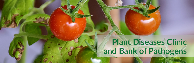 Plant Diseases Clinic and Bank of Pathogens